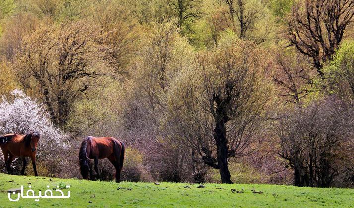 اسبهای وحشی از جمله حیواناتی است که در این جنگل به وفور یافت میشود.